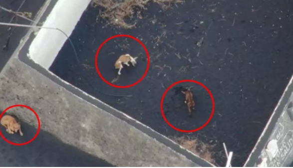 Cani intrappolati dalla lava a La Palma: nutriti con i droni