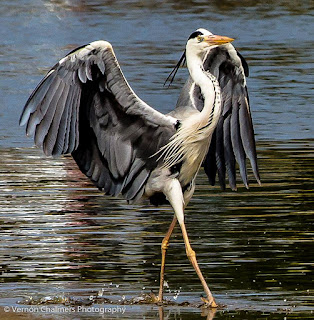 Woodbridge Island / Table Bay Nature Reserve Bird Species Index - Image Copyright Vernon Chalmers Photography