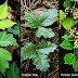 POISON OAK NATURAL REMEDY AND TREATMENT