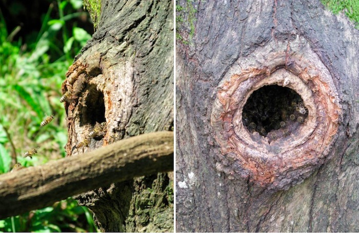 beehive in a tree hole with honey bees flying in