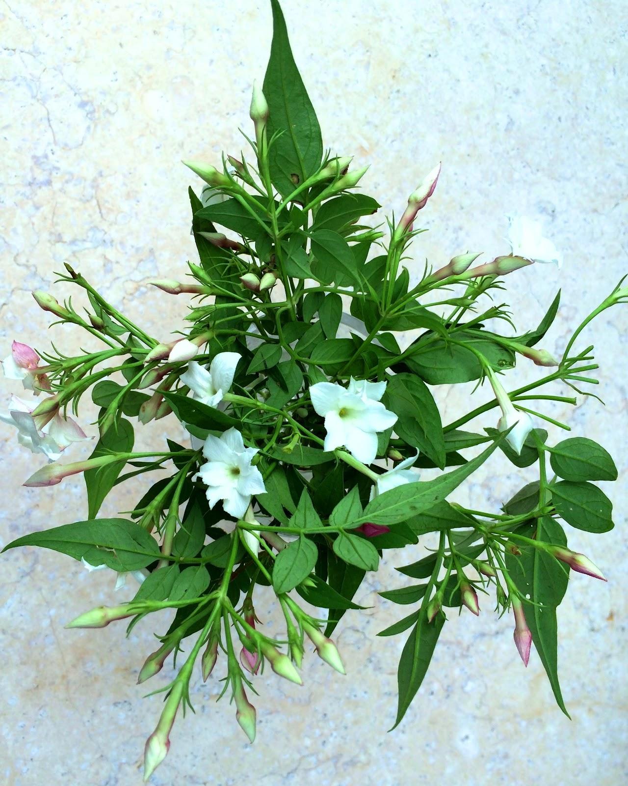 Using Jasminum Officinale Garden Jasmine As Cut Flower