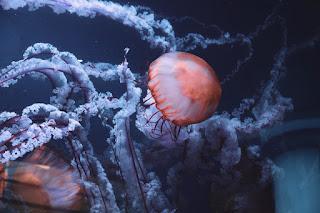 Medusa nell'acquario Oceanogràfic di Valencia