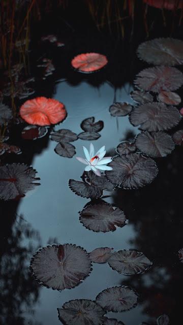 Lily Wallpaper, White Flower, Lake, Leaves