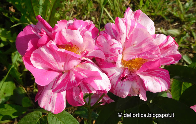 rosa gallica versicolor nel giardino della fattoria didattica dell ortica a Savigno Valsamoggia Bologna vicino Zocca nell appennino bolognese