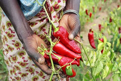 Hot peppers grown in a garden in Ghana