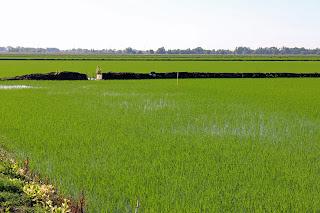 Rice Renaissance