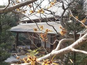 浄妙寺のマンサク