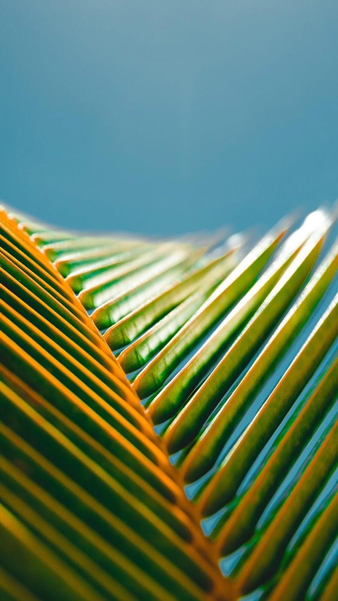 Folhas Verdes de Palmeira