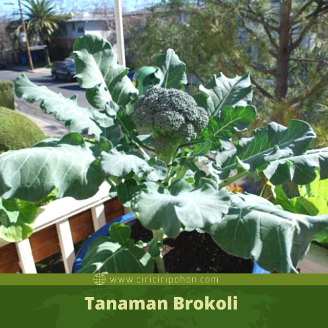 Ciri Ciri Pohon Brokoli