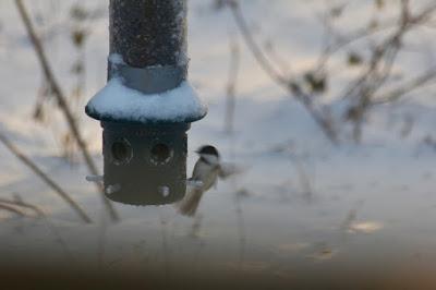 chickadee blown from feeder