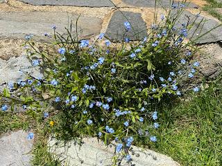 [Boraginaceae] Myosotis – Forget Me Not (Nontiscordardimè).