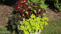Coleus and sweet potato vines, Marsh Botanical Garden - Yale University, New Haven, CT