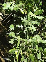 Oak leaves, Hagley Park - Christchurch, New Zealand