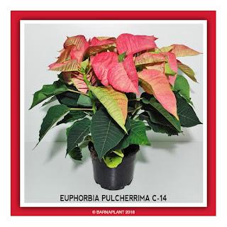 Poinsettia-Euphorbia-Pulcherrima-C14-Colores-03-2018