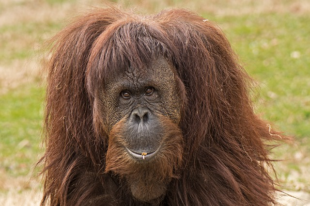 Orangutan with brittle hair