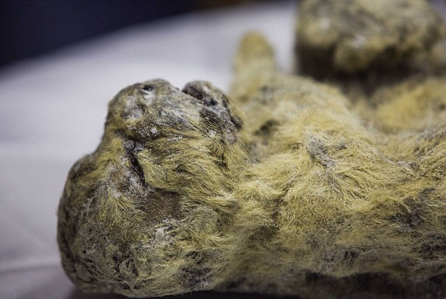 Permafrost Fossil, Ice Age Cave Lion Perfectly Preserved