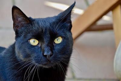 Karakter Kucing Bombay