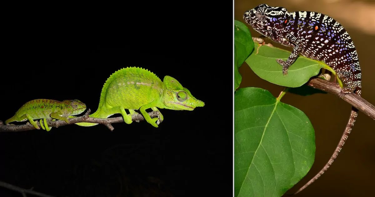 Chameleon Species Thought To Be Extinct For Over 100 Years Is Found In A Hotel Garden In Northern Madagascar