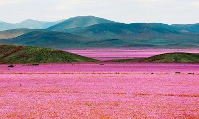 """""""The Flowery Desert"""", Atacama Desert, Chile."""