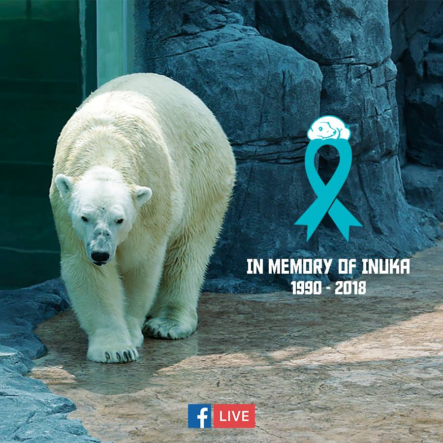 Our final goodbye to our beloved Polar Bear, Inuka (1990-2018)