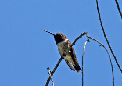 Photo of Black-chinned Hummingbird on bush