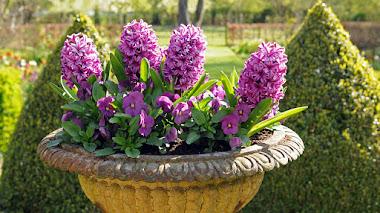 Oda al jacinto (Hyacinthus orientalis)