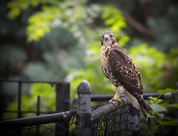 Tompkins Square red-tail fledgling 18