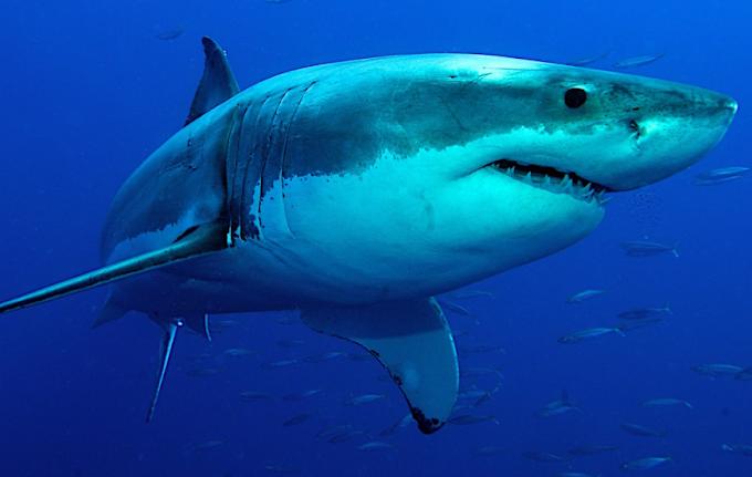 Australia, sub sopravvive ad attacco squalo: grave