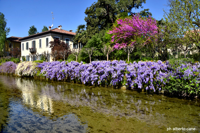 Milano, fucsia e viola sul naviglio