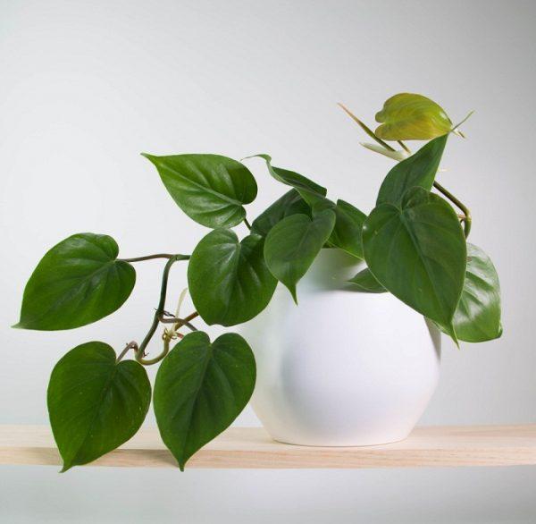 plantas trepadoras de interior