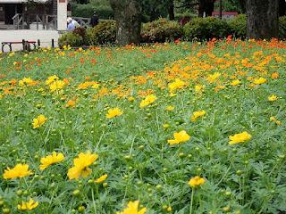 コスモス ロード                        県立相模原公園 みんなの花壇