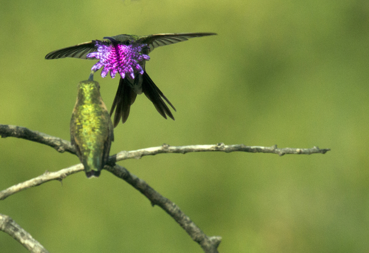 How To Tell Male And Female Hummingbirds Apart