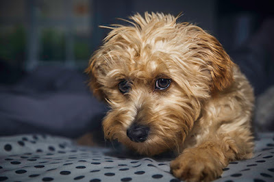 A fluffy brown dog looks sadly into the camera