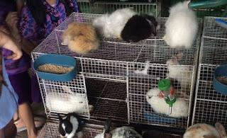 pemasaran kelinci