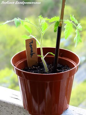Hochbeet Mischkultur: Tomaten Jungpflanze