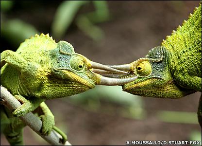 Bunglon Jackson Triceratops Mini Dari Hutan Tropis Afrika Re Tawon
