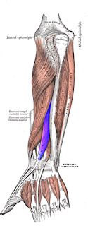 exenstors pollicis muscles- by  www.learningwayeasy.com