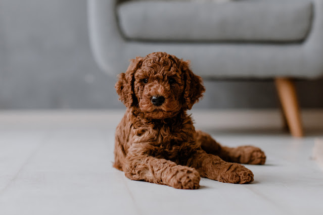 A little brown poodle puppy rests on the floor in front of a settee