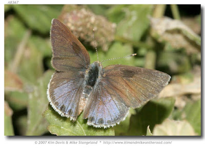 Mariposa camará (Strymon bazochii)