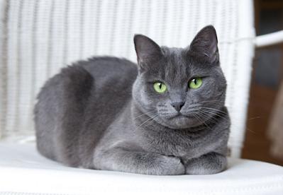 Cara Merawat Ras Kucing Russian Blue