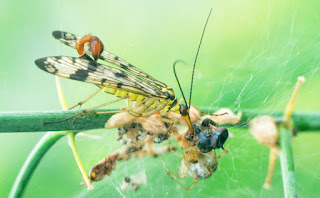 A male scorpionfly feeding off a spider's web.