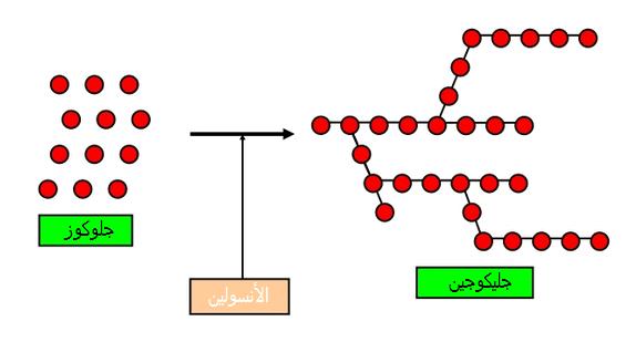 تحويل الجلوكوز إلى جليكوجين بفعل الأنسولين