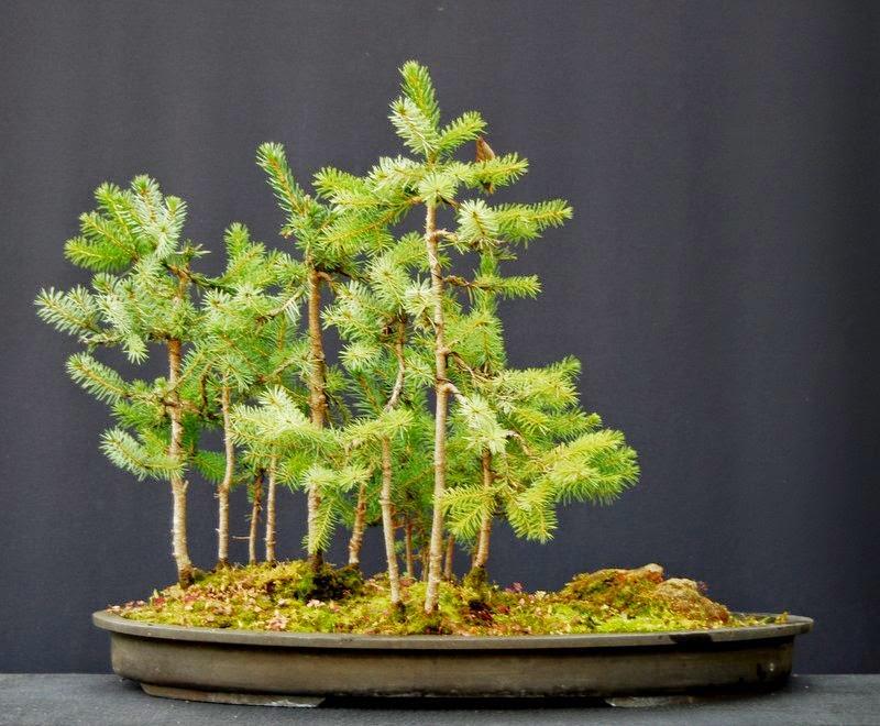 jupp s bonsai blog achtung forstarbeiten. Black Bedroom Furniture Sets. Home Design Ideas