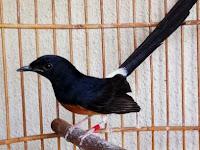 5 Masalah Pada Burung Murai yang Sering Terjadi