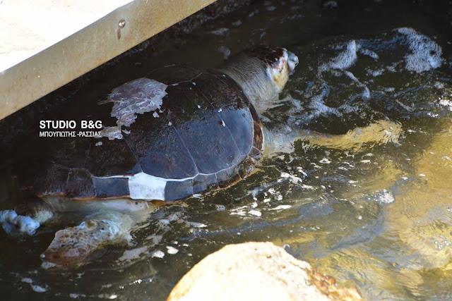 Νεκρή θαλάσσια χελώνα στο Ναύπλιο (βίντεο)