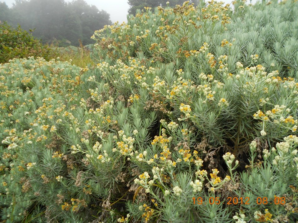 edelweis gunung papandayan