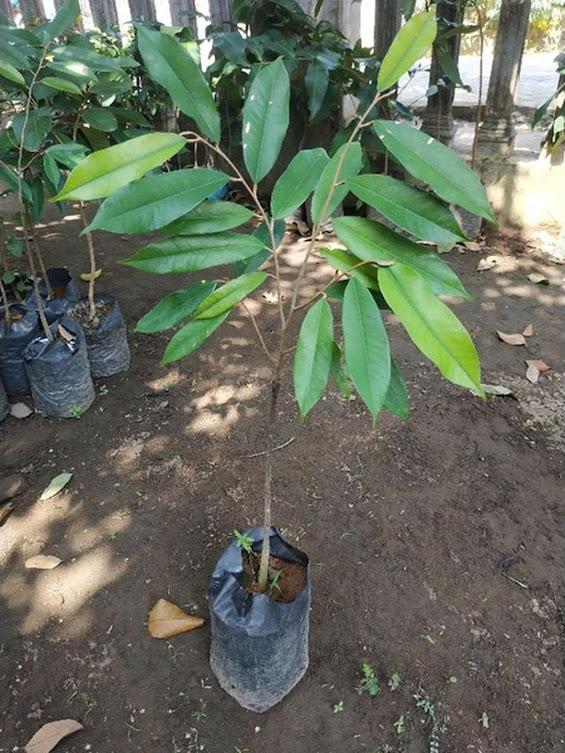 Bibit Durian Montong super cepat berbuah hasil okulasi bisa untuk tambulampot bisa COD Pariaman