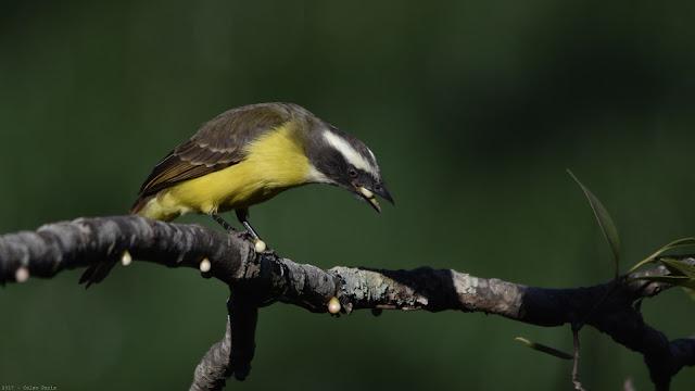Social Flycatcher Myiozetetes similis Bentevizinho-de-penacho-vermelho Benteveo mediano
