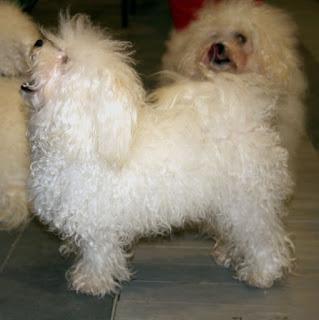 Bolognese dog-pets-dog breeds