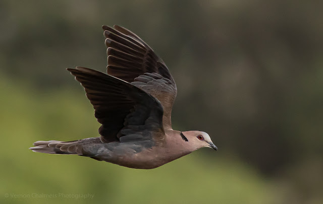 Red-Eyed Dove in flight Table Bay Nature Reserve Woodbridge Island, Milnerton
